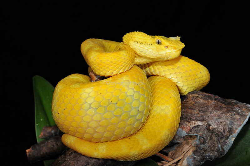 Yellow Eyelash Pit Viper Bothriechis Schlegelii Reptile Forums